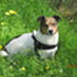 Tommy - Jack Russell Terrier Mischling