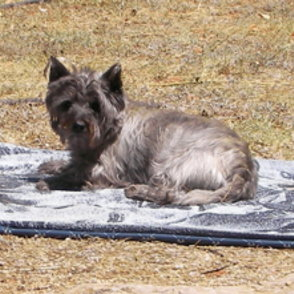 cairn terrier west highland white terrier mischling josy. Black Bedroom Furniture Sets. Home Design Ideas
