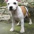 Angel - Staffordshire Bullterrier