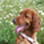 FINJA - Irish Red Setter