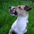 Emma - Jack Russell Terrier