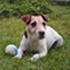 Spike - Jack Russell Terrier