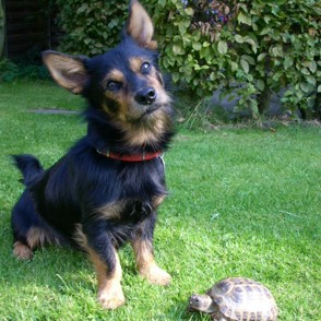 Chihuahua - Yorkshire Terrier Mischling