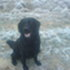 Larry - Flat Coated Retriever
