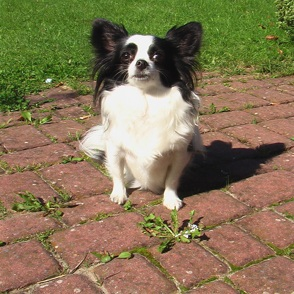 Papillon - Chihuahua Mischling