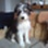 Joey - Border Collie - Australian Shepherd Mischling