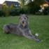 Lilith - Irish Wolfhound