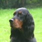 Minnie od. Fiftie ( Gordon Setter )