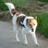 Ares - Jack Russell Terrier Mischling