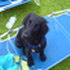 Enrico - Flat Coated Retriever