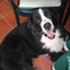 Apollo - Berner Sennenhund - Border Collie Mischling