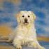 Lucky - Golden Retriever - Schnauzer Mischling