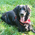 Roxy - Flat Coated Retriever - Border Collie Mischling