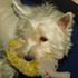 Chipsy im Hundehimmel - West Highland White Terrier