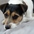 Amy - Jack Russell Terrier