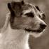 Jacky - Parson Russell Terrier