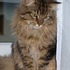 Cookie - Maine Coon - Perser Mischling