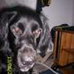 Aris ( Border Collie - Gordon Setter Mischling )