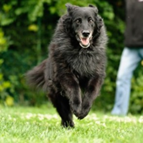 Border Collie - Flat Coated Retriever Mischling