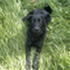 Emily - Flat Coated Retriever