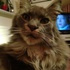 Silver - Maine Coon