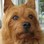 Dusty - Australian Terrier