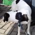 Snoopy - English Pointer Mischling