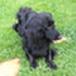 Nero - Flat Coated Retriever - Irish Red Setter Mischling