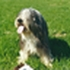 Hobbit - Bearded Collie
