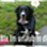 Socks - Berner Sennenhund - Border Collie Mischling