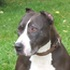 Lay - American Pit Bull Terrier - American Staffordshire Terrier Mischling