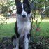 Sammy - Border Collie Mischling