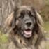 Booris - Leonberger