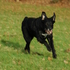 Leihhund Nr 2 - Border Collie - Flat Coated Retriever Mischling