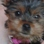 NELLY - Yorkshire Terrier