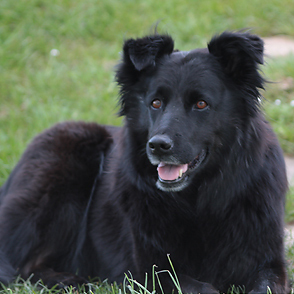 Flat Coated Retriever - Border Collie Mischling