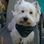 Sir Branstone - West Highland White Terrier