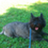 Chip - Cairn Terrier