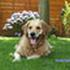 Amie - Golden Retriever