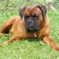 charly  hdt 20.4.12 ( Deutscher Boxer )