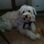 Benny, im Hundehimmel - Bearded Collie - Toy Pudel Mischling