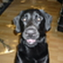 Jamie - Labrador Retriever - Golden Retriever Mischling