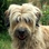 Lupo - Irish Soft Coated Wheaten Terrier Mischling