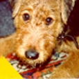 Pina ( † 7.7.2000) - Airedale Terrier