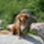 Lotta - Golden Retriever - Australian Shepherd Mischling