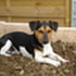 Muffin - Jack Russell Terrier