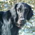 Shadow - Flat Coated Retriever