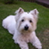 Ronja - West Highland White Terrier