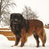 Ares - Leonberger