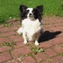 Pucca - Papillon - Chihuahua Mischling